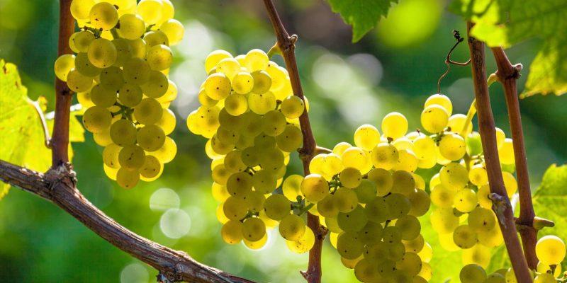 Der Grauburgunder – ein europäischer Spitzenwein mit einigen Rätseln